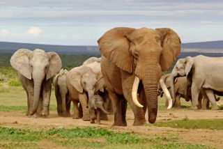 Mass Extinction Elephants