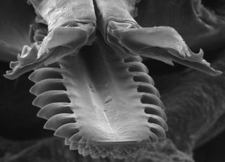 mouthparts of a tick