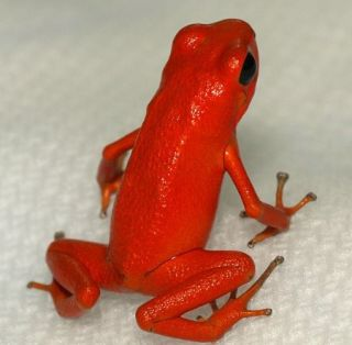 Poison arrow frog.