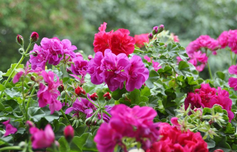 growing geraniums from cuttings