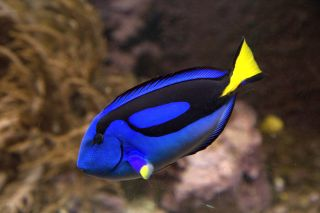 regal blue tang