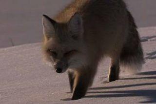 pet-fox