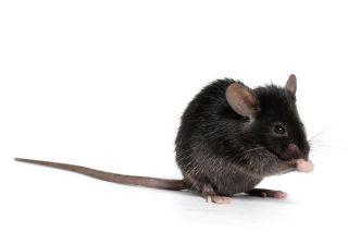mouse, lab mouse