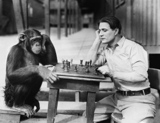 Chimpanzee playing chess