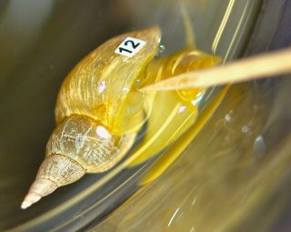 """Scientists """"train"""" the snails not to open their air-holes, or pneumostomes, by gently tapping them. Stressed-out snails don't learn from this training."""