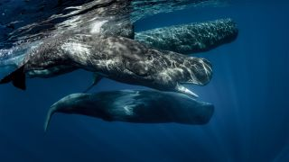 Pod of sperm whales swimming off the coast of Sao Miguel Azores.