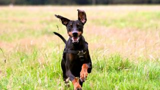 Why do dogs get the zoomies? This doberman has them!
