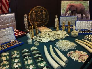 Ivory Seized by New York State Department of Environmental Conservation