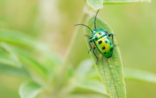Close-up photo of a spotted green jewel bug on a blade of grass.