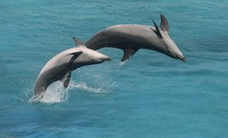 Two bottlenose dolphins performing.