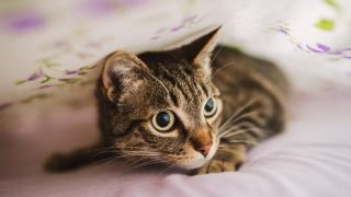 Tabby cat hiding under bed covers