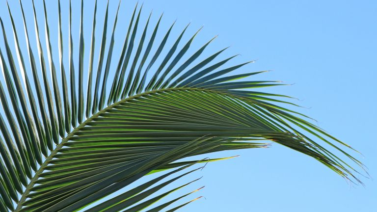 Coconut palm fronds creating tropical pattern against blue sky