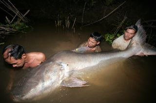 the mekong giant catfish is one of the largest fish in the world