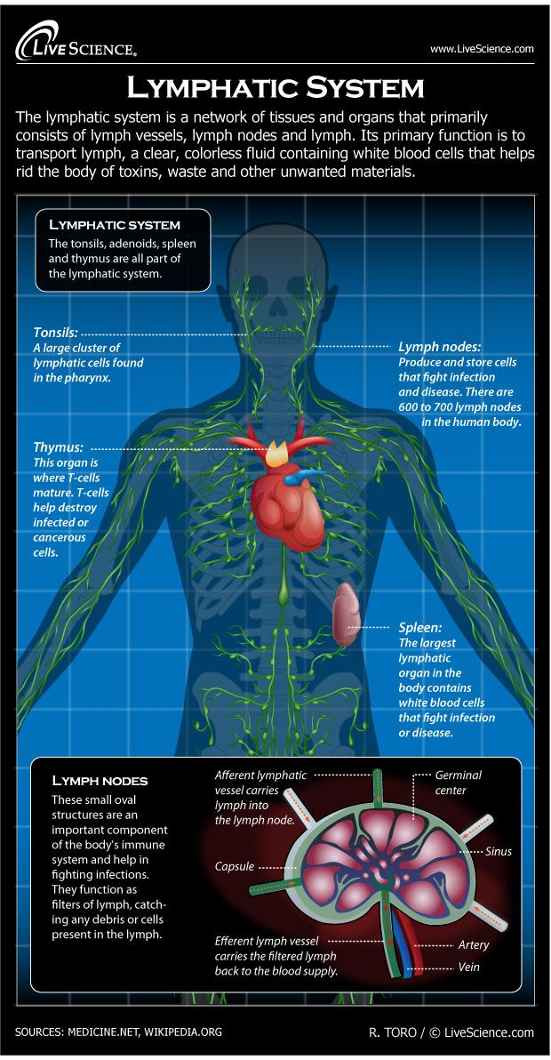 Diagram Of The Human Lymphatic System  Infographic