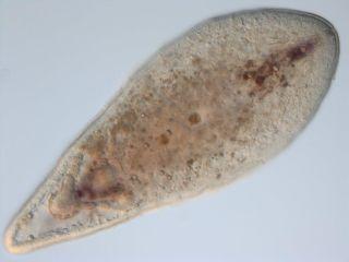 Marine worm