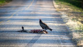 Buzzards commonly feast on roadkill. Should you?