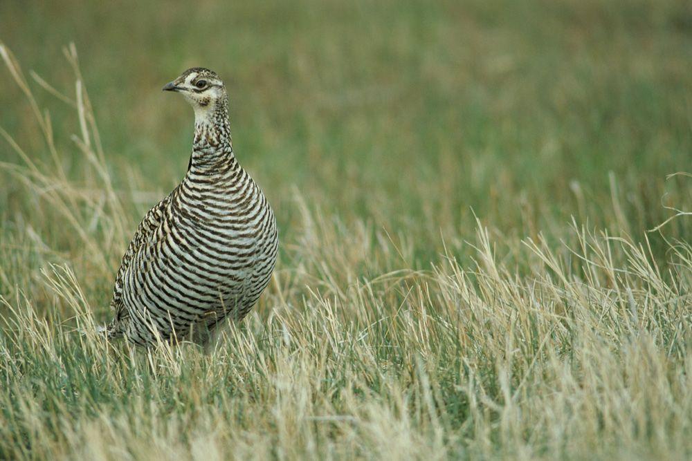 Tallgrass Prairie Ecosystem Images | North American Prairies