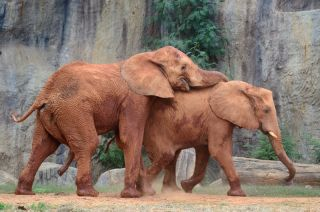 A pair of elephants with one resting his head and trunk on the back of the other.