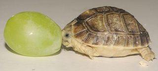 tiny-tortoise-grape-110412-02