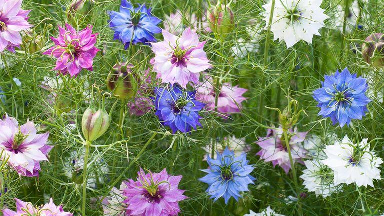 Nigella damascena 'Persian Jewels Mix' from Sarah Raven