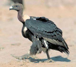 endangered animals, vultures