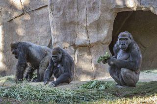 Gorillas at the San Diego Zoo Safari Park.