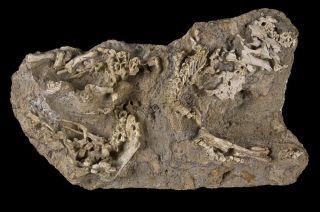 Baby Hadrosaurs