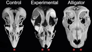 Chicken Embryos With Dinosaur Snouts Created in Lab | Live Science