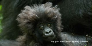 baby gorillas individuality