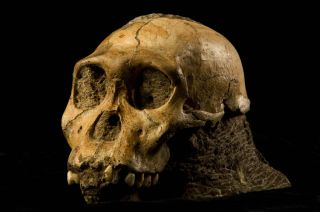 the skull of Australopithecus sediba, possibly the direct ancestor of the human lineage