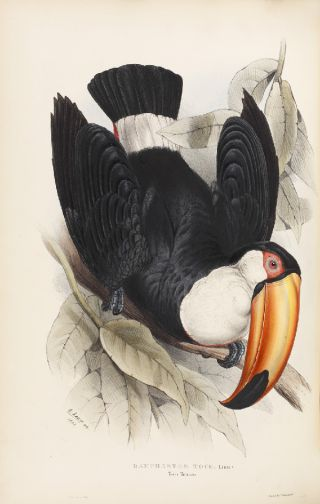 A toucan illustration by the poet Edward Lear.