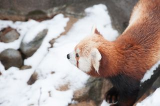 Red Panda and National Zoo
