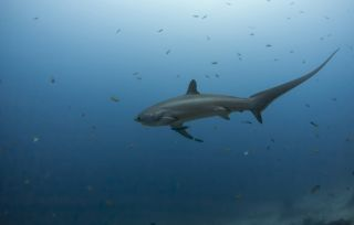 thresher shark swimming