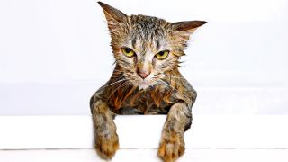 Why do cats hate water? Wet cat clinging to side of bath