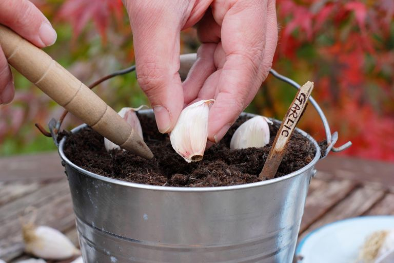 Sowing three garlic cloves into a container with a dibber in autumn