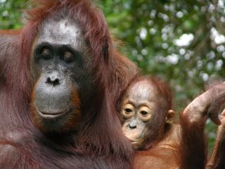 An infant orangutan nurses. Young orangutans increase their milk intake during seasons when fruit availability is low.