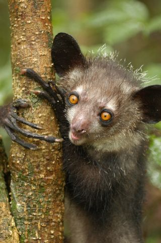 aye-aye, conservation, lemurs, madagascar, endangered animals