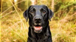 Black dog stood in long grass looking happily at the camera with his mouth open