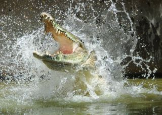crocodile with snout open