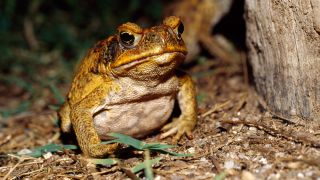 The cane toad (Rhinella marina) is an invasive species in Australia, where its tadpoles have become voracious cannibals.