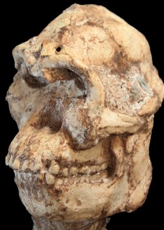The skull of <em>Australopithecus prometheus</em> (Little Foot), a human relative that lived about 3.7 million years ago.