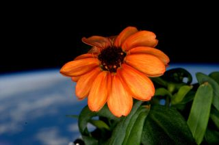 Orange zinnia, first flower ISS
