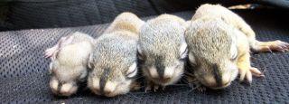 North America - IWRC   Baby Squirrel Diet