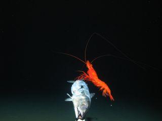 A large prawn feeds on bait.
