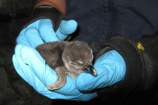 penguin-chick-monterey-110111-02