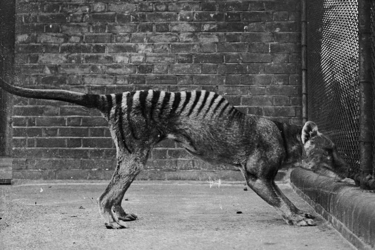Ghost Of The Tasmanian Tiger Scientists Investigate