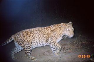 Leopard on camera