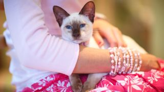 One of the most affectionate cat breeds, Siamese cat sitting on woman's lap