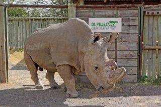 sudan the white rhino
