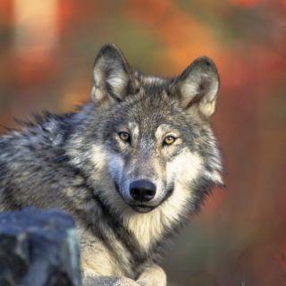 gray wolf in wild
